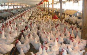 مرغ حلال صادراتی اوکراین
